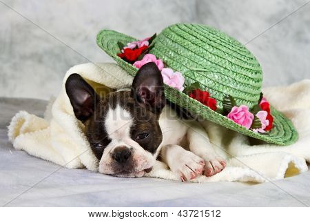 Boston terrier lay with flower hat and white towel poster
