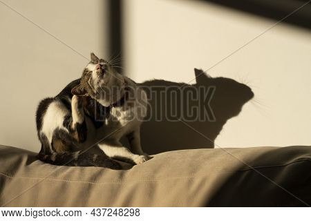 A Tabby Cat Scratching Its Neck In The Sunlight On A Sofa, Its Shadow On The Adjacent Wall..