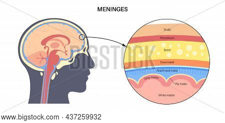 Meninges Anatomy. Enveloping Of Brain And Spinal Cord. Protecting Of The Central Nervous System. Dur