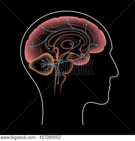 Serotonin Pathway In The Human Brain. Monoamine Neurotransmitter. Modulating Mood, Cognition, Reward
