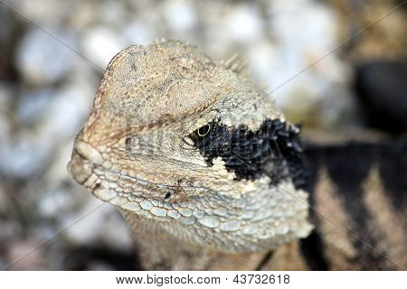 Easter Water Dragon (physignathus Lesueuril) Close Up