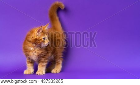 Portrait Of Male American Longhair Kitten Six Weeks Old On Violet Background. Purebred Red Classic T