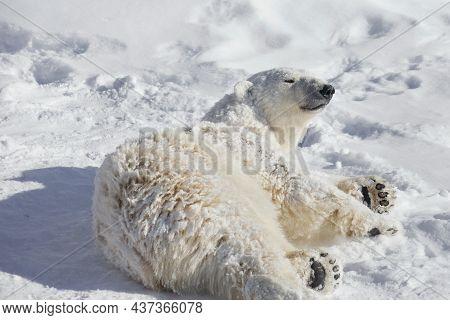 Arctic Bear Cub Is Lying On The White Snow. Ursus Maritimus Or Thalarctos Maritimus. Animals In Wild