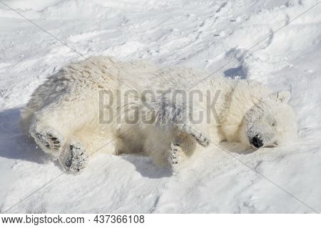 Polar Bear Cub Is Lying And Sleeping On The White Snow. Ursus Maritimus Or Thalarctos Maritimus. Ani