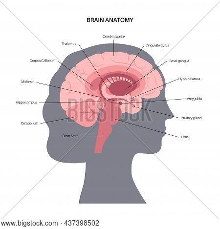 Human Brain Anatomy On A White Background. Limbic System And Neural Network. Basal Ganglia, Amygdala