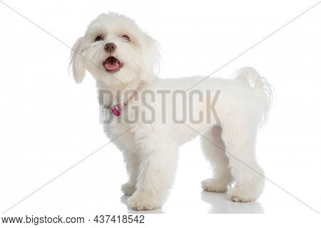 happy small bichon puppy wearing pink collar, sticking out tongue and looking up, standing on white background in studio