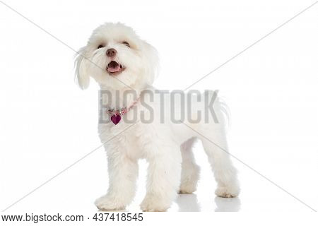 lovely little bichon dog wearing collar, sticking out tongue and looking up while standing isolated on white background in studio