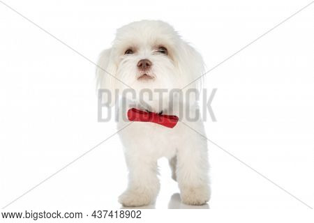 lovely bichon puppy wearing red bowtie and looking up while standing isolated on white background in studio