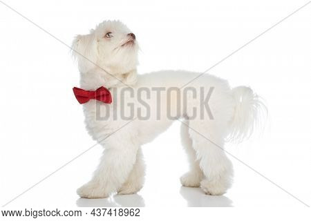 curious elegant bichon puppy wearing red bowtie, walking and looking up on white background in studio