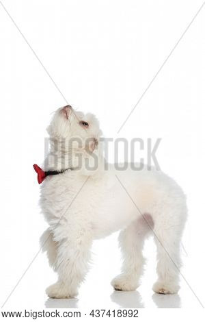 eager small bichon doggy with bowtie curiously looking up and standing isolated on white background in studio