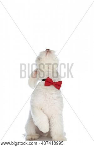 playful little bichon puppy wearing red bowtie, looking up and standing on behind legs on white background in studio
