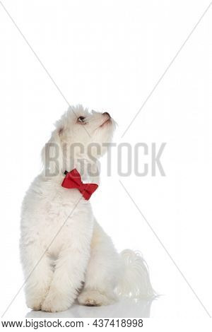 curious little bichon doggy with bowtie looking up and sitting isolated on white background in studio