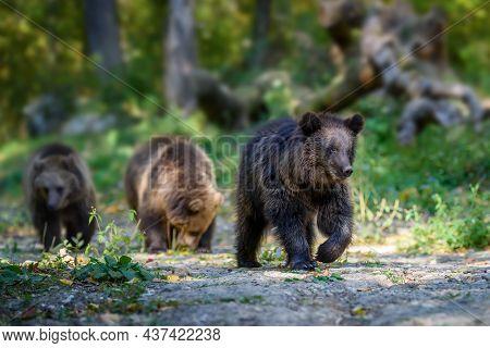 Three Wild Brown Bear Cubs (ursus Arctos) In The Autumn Forest. Animal In Natural Habitat. Wildlife