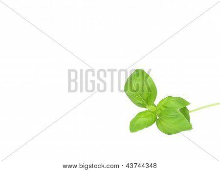 Isolated Basil Leaves