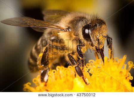 Honey Bee Up Close Macro on a Yellow Flower