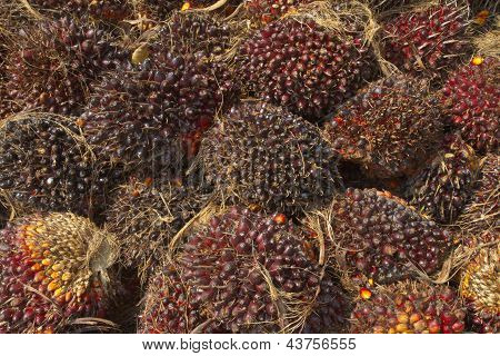 Palm Oil seeds, Renewable energy