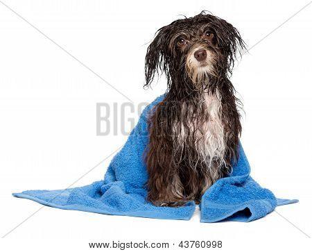 Wet Dark Chocolate Havanese Puppy Dog After Bath