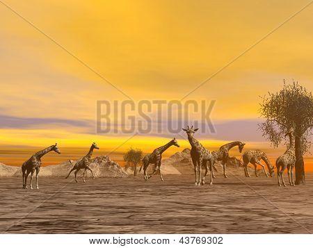 Herd of giraffes in the savannah by hazy sunset light poster