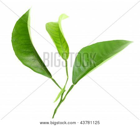 Three Green Leaf Of Citrus-tree