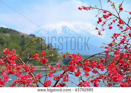 Japan - Ume Tree Blossom