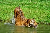 Wildlife Animal Tiger Swimming In the River poster