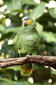 a picture of a yellow-shouldered amazon parrot poster