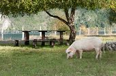 Picnic table and Pig in the field poster