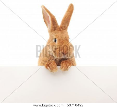 Rabbit With Blank