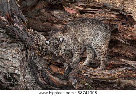 Bobcat (Lynx rufus) Climbs About in Log - captive animal poster