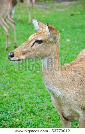 Deer (brow-antlered)