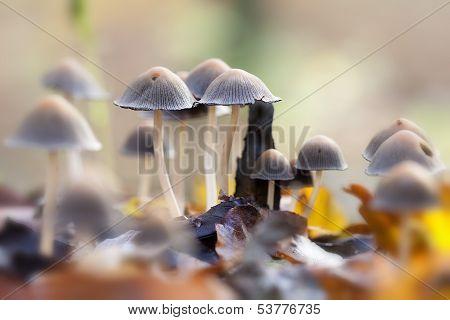 Inkcap - foliage