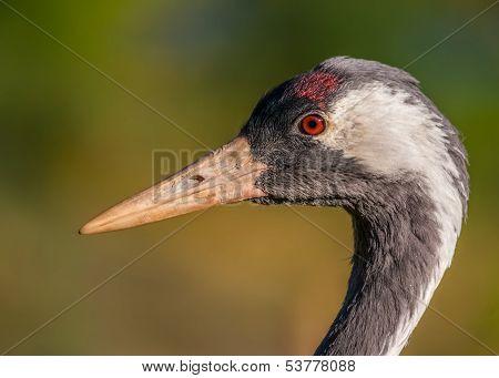 Crane / Grus grus
