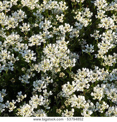 Lilium Flowers