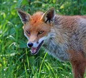 Close-up headshot of a beautiful british red fox poster