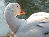White goose lying next to the lake poster