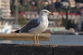 close up of seagull standing on quay of Yalta poster
