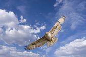 large hawk in flight (with path) poster