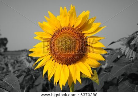 Huge Sunflower