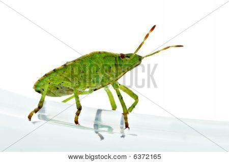 Green Shield Backed Bug (palomena Prasina)