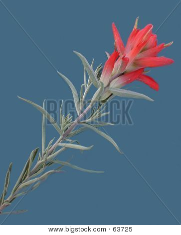 Red Paintbrush Bloom