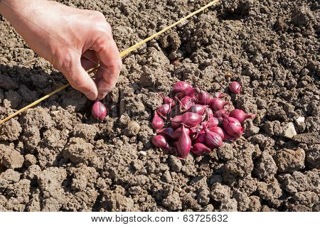 Sowing Red Onions