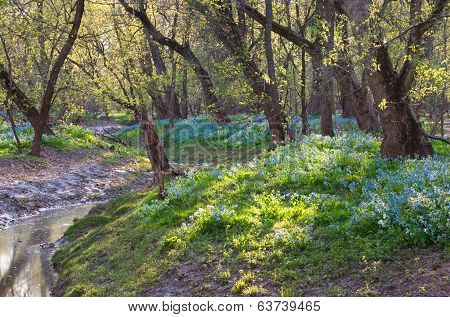 Virginia Bluebells in the Occoquan Stream Valley