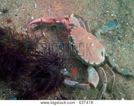 Swimmer Crab