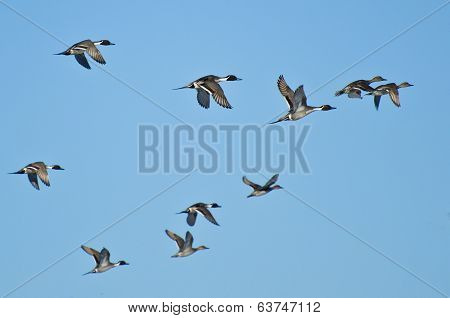 Flock Of Northern Pintails Flying In Blue Sky