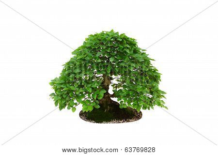 Home decoration - hornbeam bonsai tree isolated on white