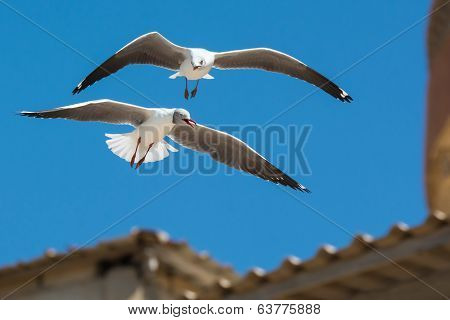 A Grey-Headed Gull (Larus cirrocephalus) following an adult in flight poster