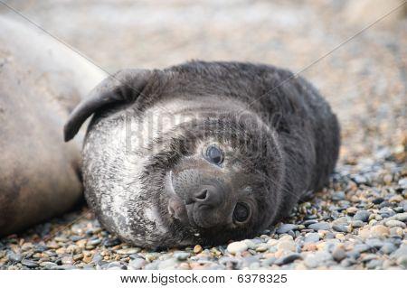 Cute Baby Seal, Valdes Peninsula