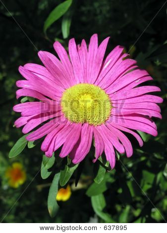 Aster In Beams Of The Sun