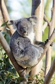 A cute adorable adult koala bear sitting on a tree grasping a branch with its claws. The Phascolarctos cinereus is an arboreal herbivorous marsupial native to Australia with gray fur and round fluffy ears. poster