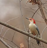 Red-bellied woodpecker (Melanerpes carolinus) perched on a tree branch poster